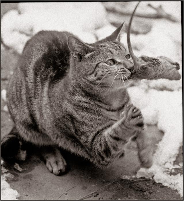 cat-kills-rat
