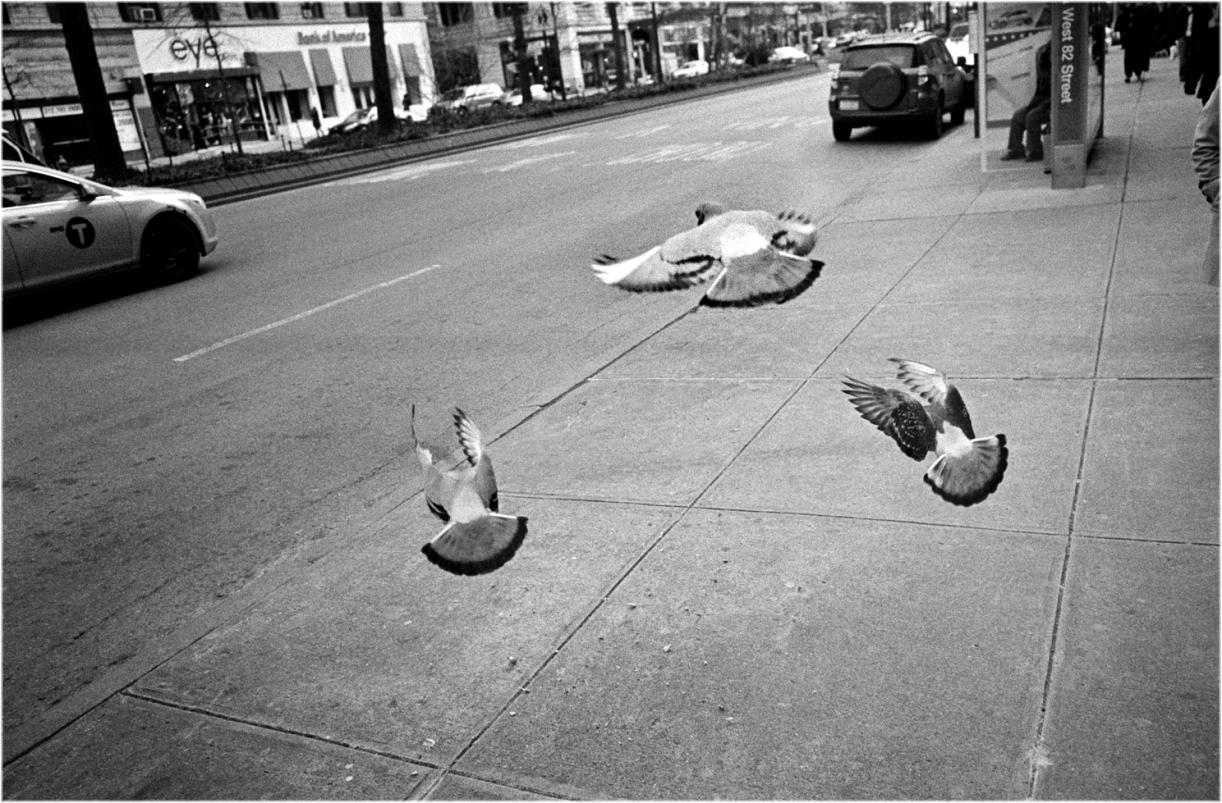 NYC-pigeons