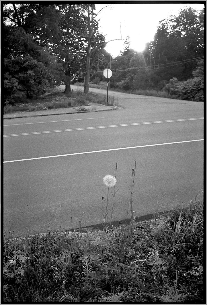 dandelion-matt-weber