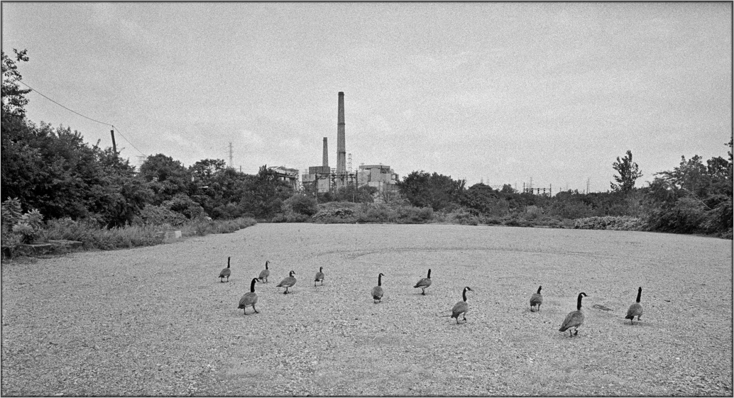 new-jersey-factory-geese