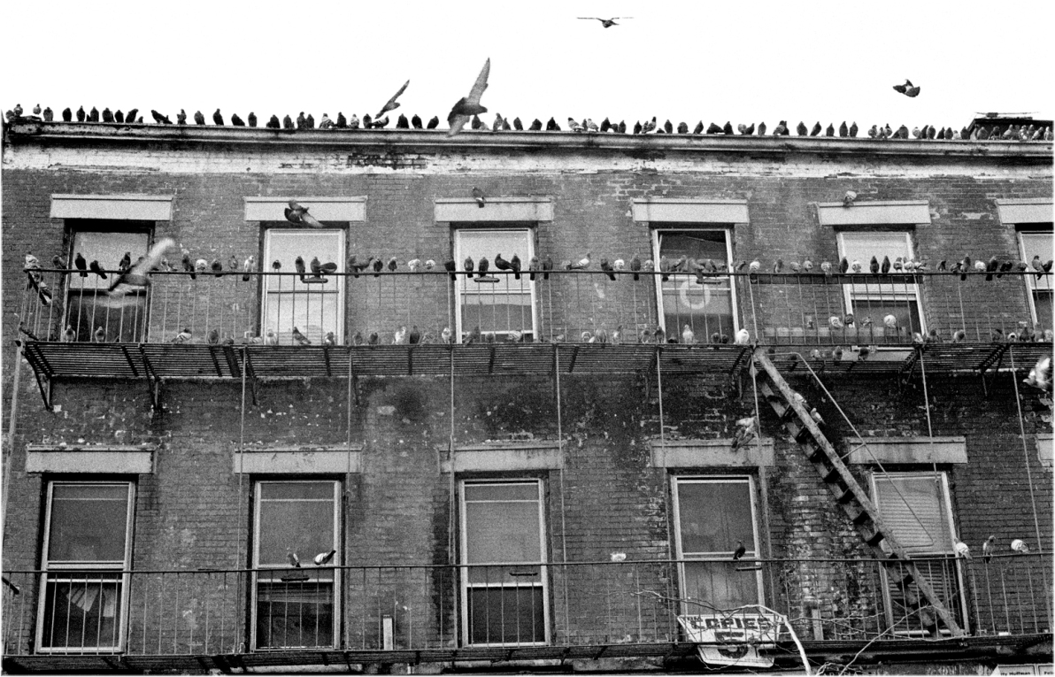 pigeons-nyc